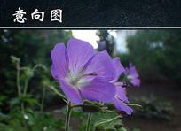 淡紫色花朵摄影图