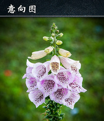 淡紫色毛地黄花朵