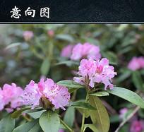 粉红色杜鹃花图