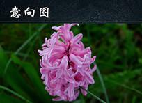 粉色风信子花朵