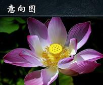粉色莲花开花图