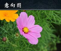 格桑花植物图