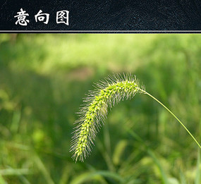 狗尾巴草绿色背景图