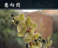 黄色蝴蝶兰开花图