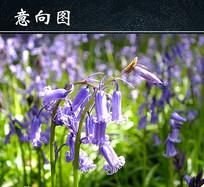 户外紫色风信子