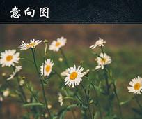 盛开的洋甘菊