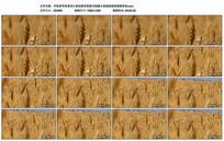 小麦桔梗变焦特写植物视频实拍