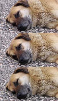 地上睡觉的小狗实拍视频素材 mov