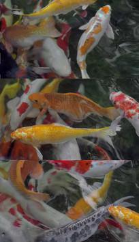 水面下的锦鲤鱼实拍视频素材