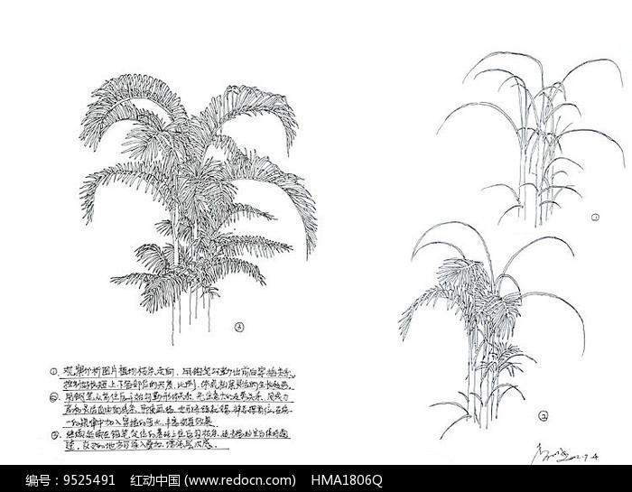 棕榈树手绘解析线稿