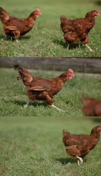 草地奔跑的母鸡实拍视频素材
