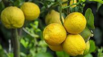 酸柠檬水果