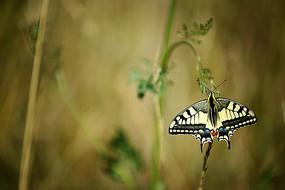 燕尾蝴蝶壁纸图