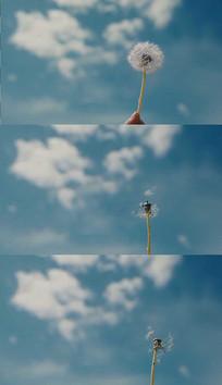 风吹蒲公英实拍视频素材