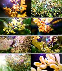 《桂花开》歌曲背景视频