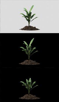植物生长带通道视频素材 mov