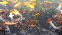 观赏鲤鱼4K视频