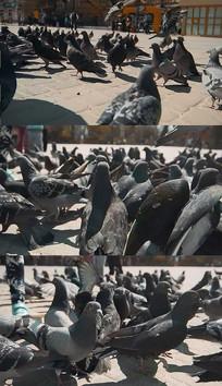 广场鸽子群实拍视频素材