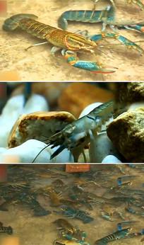 小龙虾实拍视频