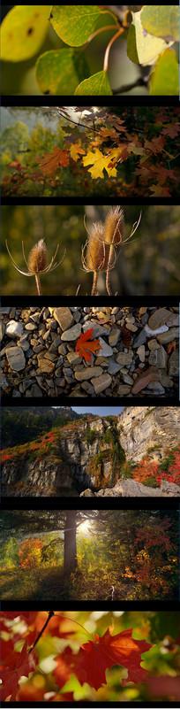 秋天枫叶实拍视频