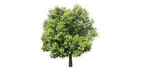 樟树SU模型