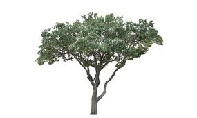 樟树2D模型