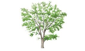 手绘樟树SU模型