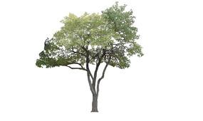 2D樟树SU模型
