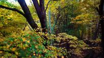 4k秋季枫叶枫树实拍视频