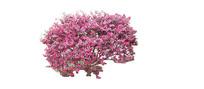 红灌木洋紫荆SU模型 skp