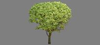 黄金榕树组件SU模型