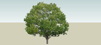 樟树SU模型 skp