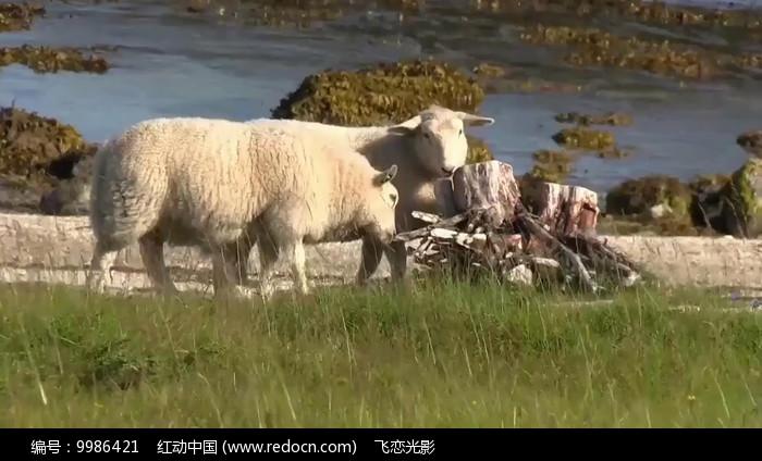 内蒙古大视频男生v视频实拍羊群视频急尿草原图片