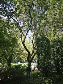 木瓜灌木小乔木植物