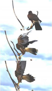 大鹏展翅一只大鸟飞走视频