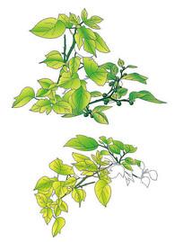 手绘国画工笔风格构树叶