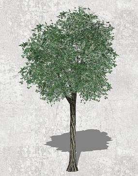 常绿乔木SU模型