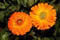 橙色花朵绽放图