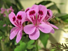 粉红色天竺葵花朵图