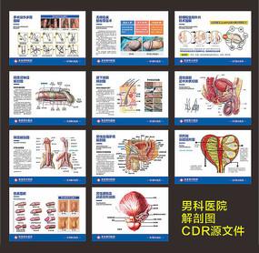 男性生殖解剖图展示图例展板