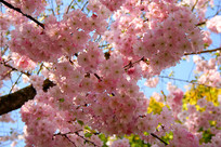 唯美樱花观赏