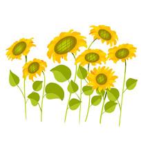 一大片向日葵花丛