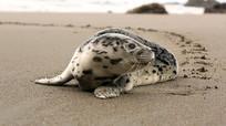 沙滩上海豹宝宝视频素材 mp4