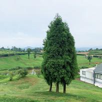 乔木柏树意向图