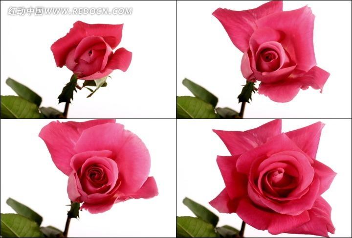 动态玫瑰花开放过程高清动态视频