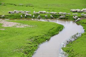 草原上饮水的羊群