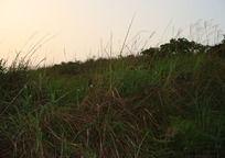 黄昏的山顶野草丛