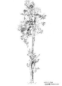 黑白速写-小树