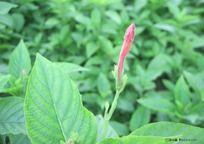 红竖点花朵