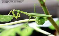 正版螳螂高清图